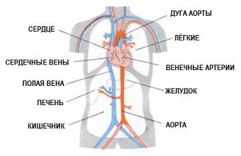 Система крвообращения