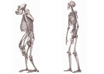 Эволюция обезьяны и человека