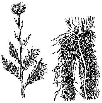 Левзея сафлоровидная