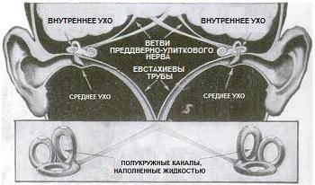 Органы равновесия