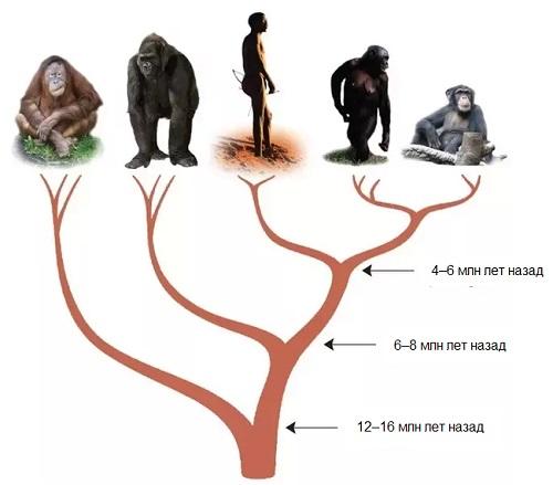 Человек до сих пор обезьяна?