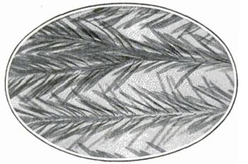 Крыло комара под микроскопом